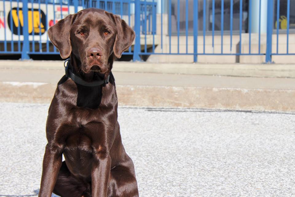 Detector Dog extraordinaire Chucky has been trained to sniff out illegal substances at the Canadian border. Photo: Canada Border Services Agency Facebook page