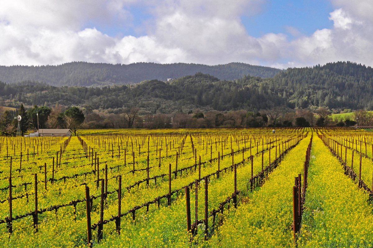 Mustard flowers bathe Sonoma County's valleys in a warm yellow glow. Photo: Sonoma County Tourism.