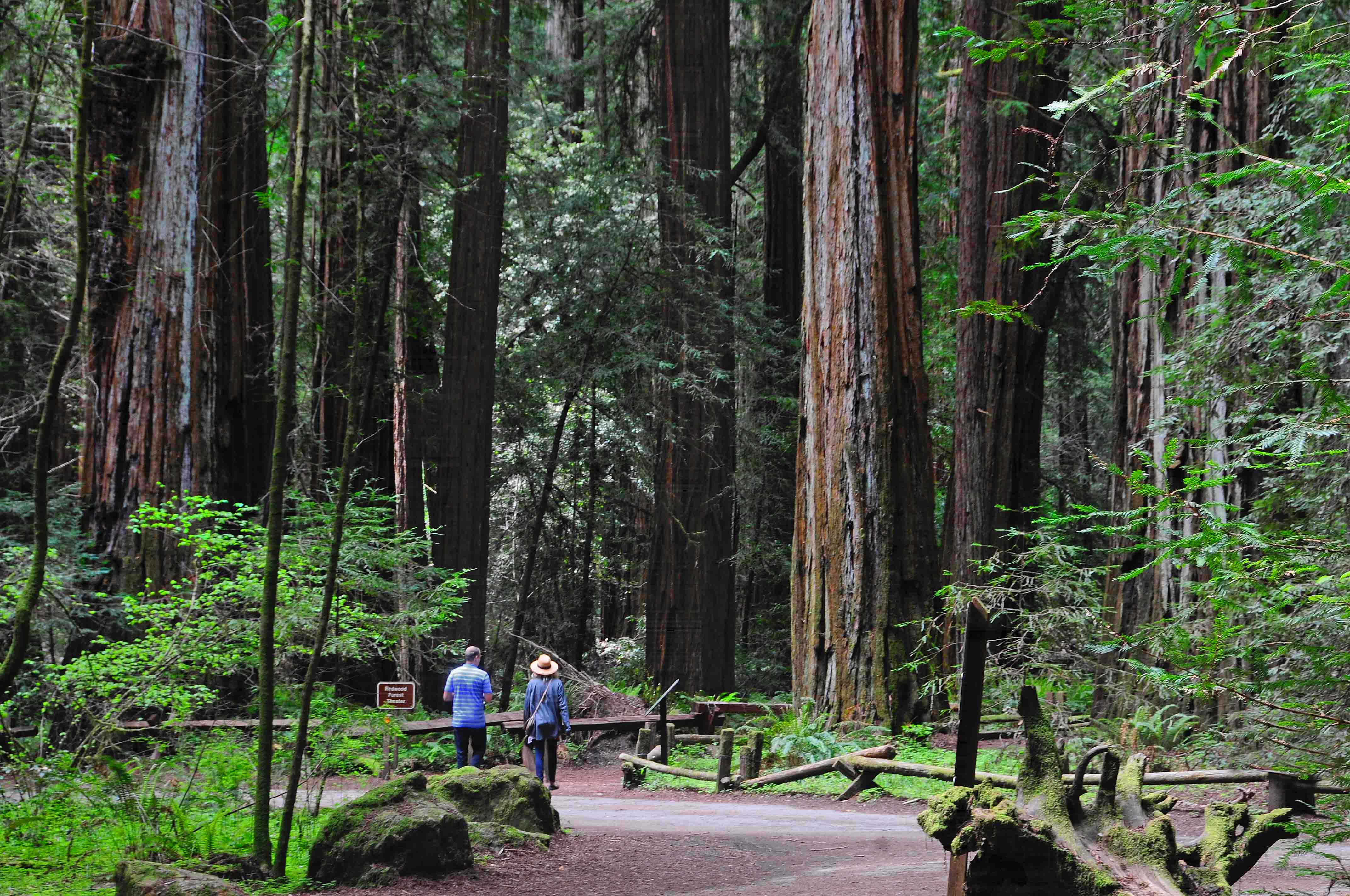 Visit the 1,000 year-old Sequoia trees in Armstrong Redwoods State Natural Reserve. Photo: Sonoma County Tourism.