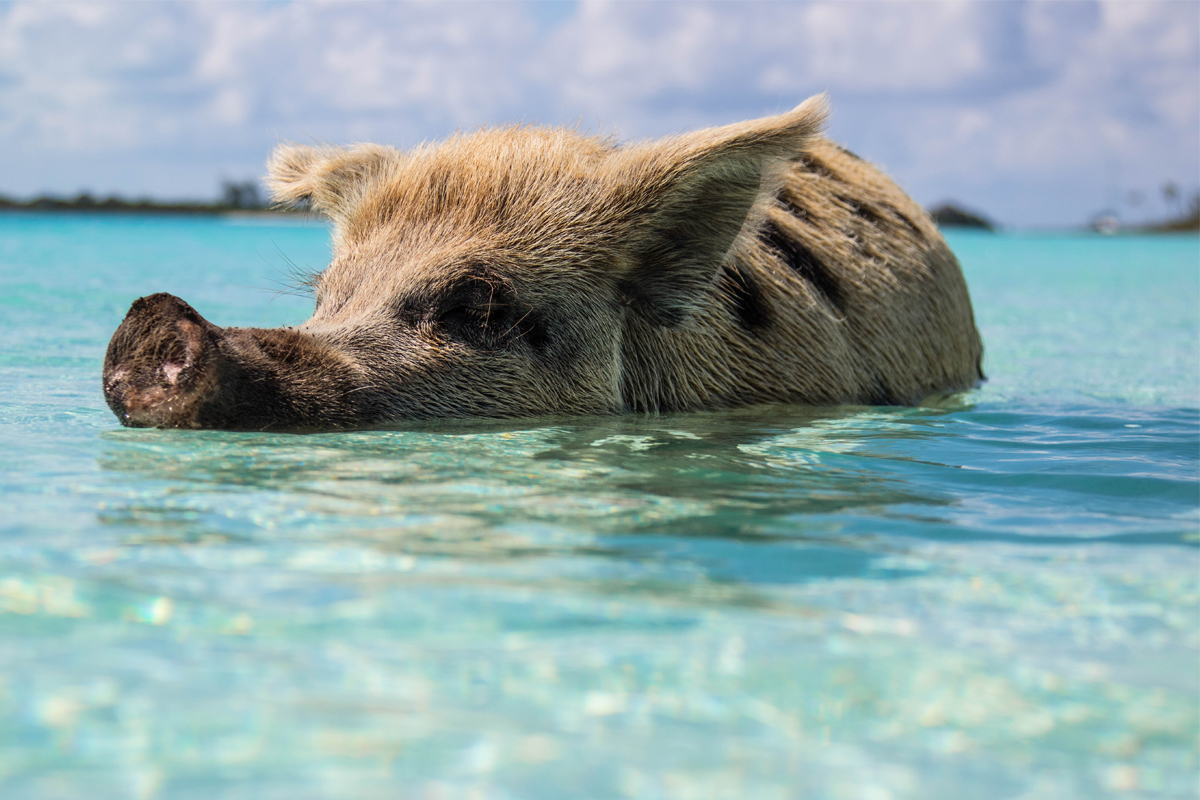 Hurricane Dorian did not hit Exuma, which means the famous swimming pigs are doing just fine!