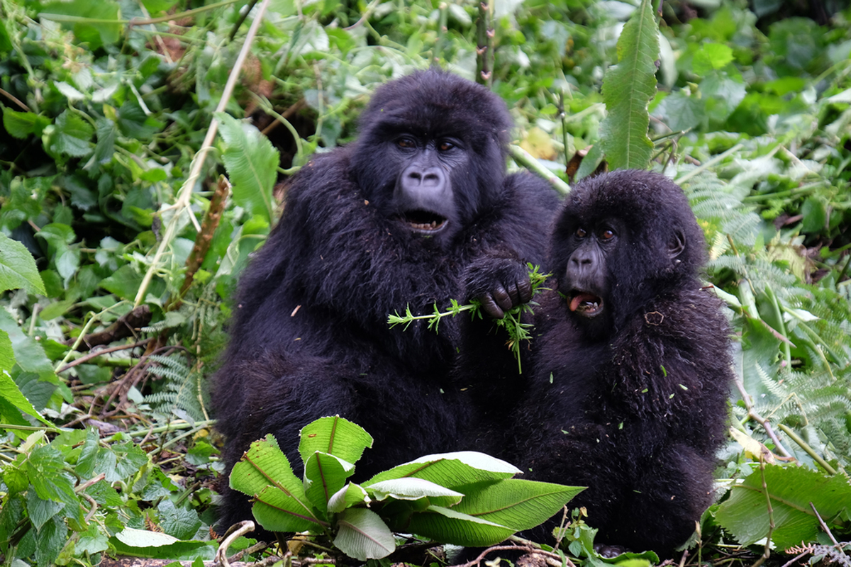 Intrepid selling half-price gorilla tours in Rwanda
