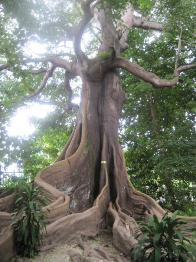 Very old tree Mystic Mountain Jamaica