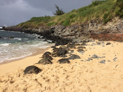 Having a nap - turtles in Maui