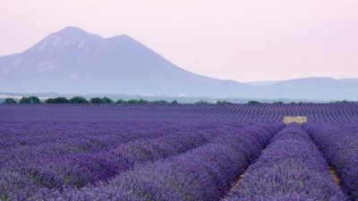 Lavender Dreams, Provence, France