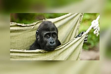 New gorilla trekking program offered by Goway