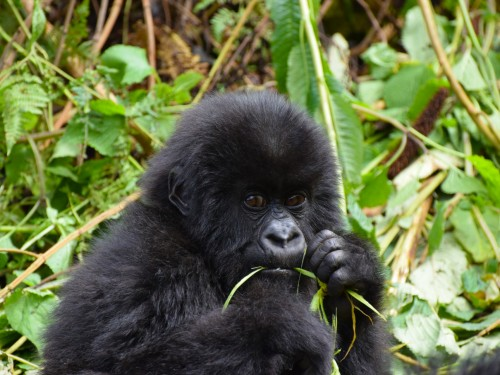 3 new gorilla families can be found in one of Uganda's national parks